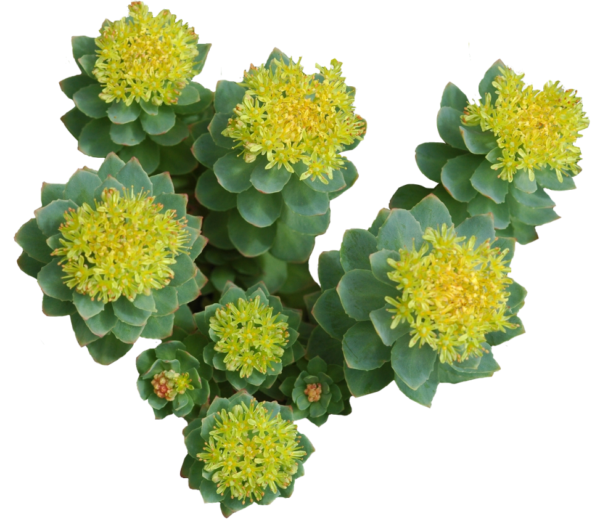 acheter-rhodiola-complement-alimentaire-zen-point-equilibre